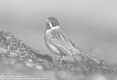 Bruant des roseaux - Common Reed Bunting - Emberiza schoeniclus